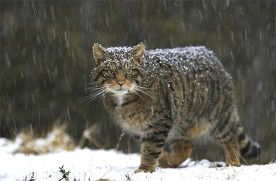 Highland Tiger or Scottish Wildcat