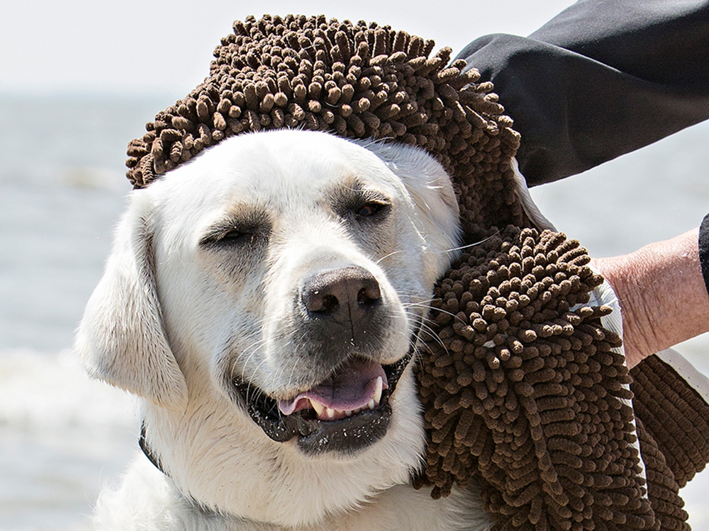 A yellow lab is seen getting toweled off using Soggy Doggy's super shammy