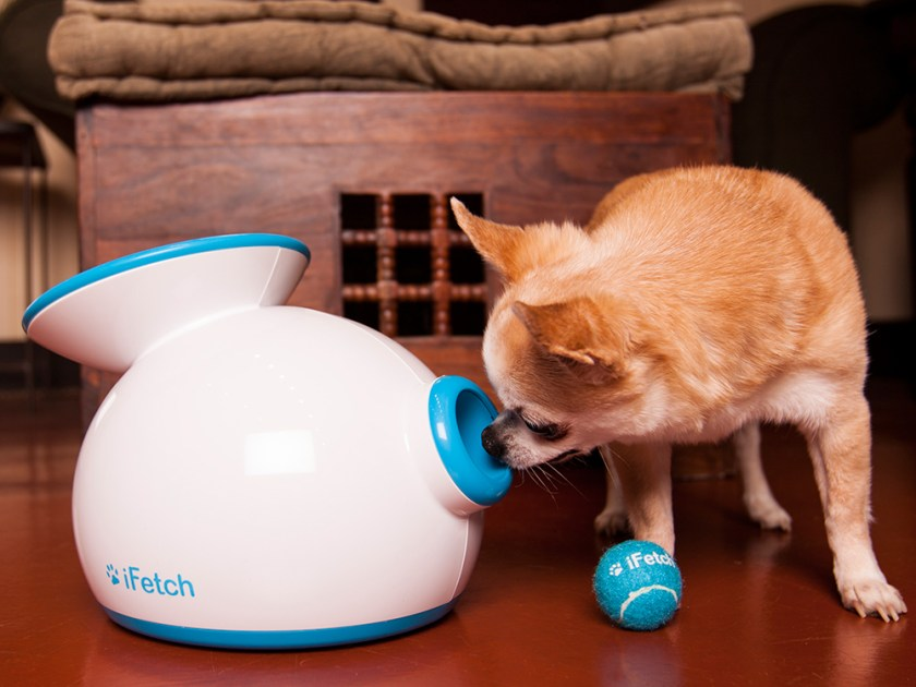 A Chihuahua is seen sniffing an iFetch automatic ball launcher