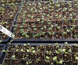 Green house broccoli