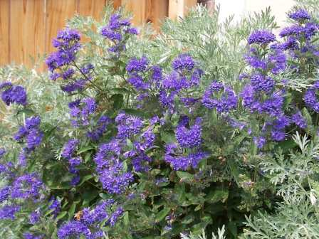 Blue-Mist-Shrub