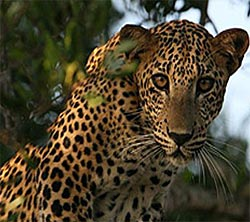 Yalla National Park has a greater density of leopards than anywhere else in the world.