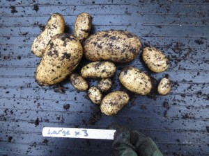 Large tuber results from potato trial