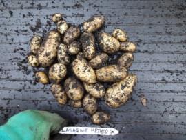 Potato trials - lasagne method results