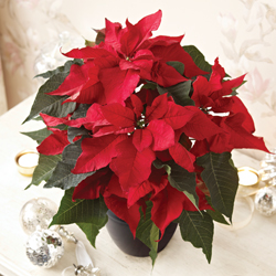 christmas gifts - Poinsettia 'Prestige Red'