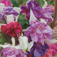 Fuchsia 'Giants Collection A'