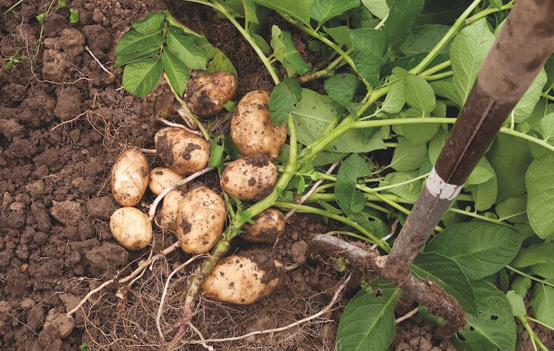 Potato 'Arran Pilot' from T&M