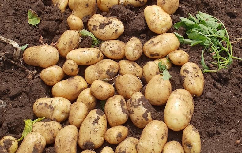 Potato McCain 'Royal'