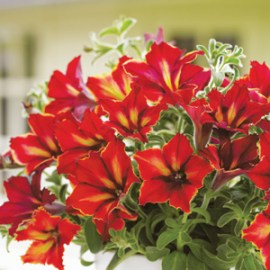Get the inside story on 2 new varieties for 2013
