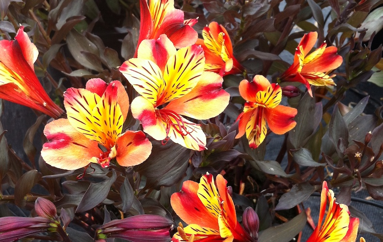 Alstroemeria 'Indian Summer' from T&M