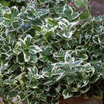 Top 10 evergreen shrubs