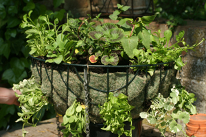 How many plants do I need in a hanging basket or container?