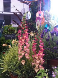 Foxglove 'Illumination Pink' featured in two award-winning Chelsea gardens