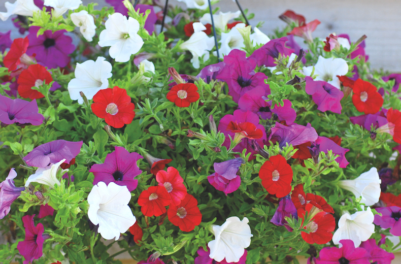 Petunia 'Surfinia' collection from T&M