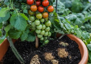 How to grow TomTato™