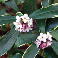Favourite scented plants, voted by RHS members