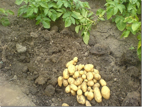 Preparing for 2014 - potato blight