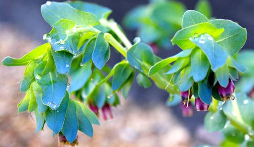 High Value, Low Cost Plants Cerinthe major 'Purpurascens'