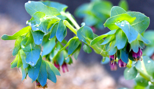 High Value, Low Cost Plants Cerinthe major 'Purpurascens'