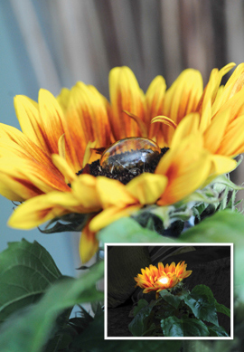 World's first electricity-generating sunflower!