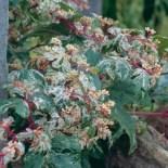 Ampelopsis-brevipedunculata