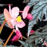 Begonia Garden Angels