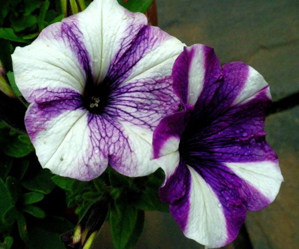 Petunia Preppy Blue