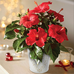 Indoor Plants Are The Perfect Christmas Gifts Blog At Thompson