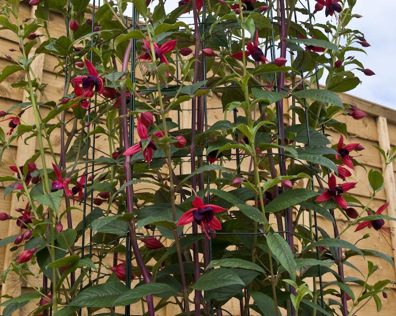 Fuchsia 'Lady Boothby' de Thompson & Morgan