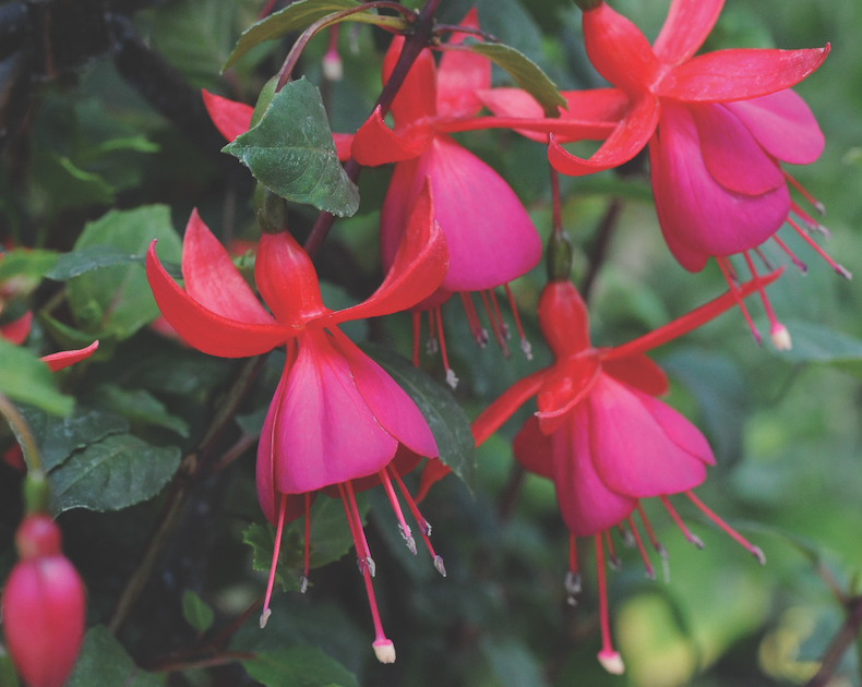 Fuchsia 'Pink Fizz' from Thompson & Morgan