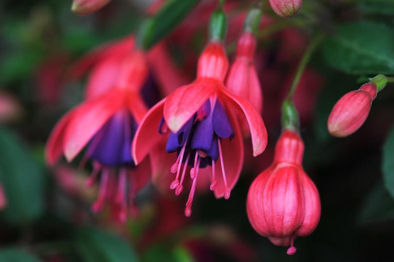 Fuchsia 'Eruption' from Thompson & Morgan
