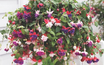 The top 10 fuchsias to enhance your outdoor space