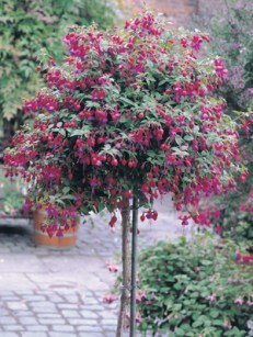 growing fuchsia standard