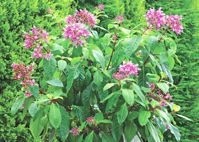 Fuchsia aborescens from Thompson & Morgan
