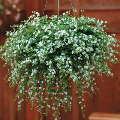 plants for hanging baskets