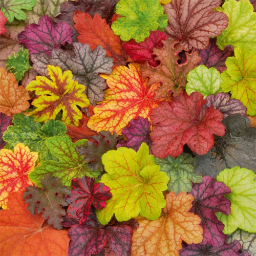 Heuchera 'Patchwork'