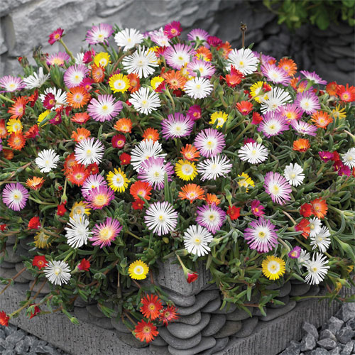 Delosperma 'Hardy Mixed'