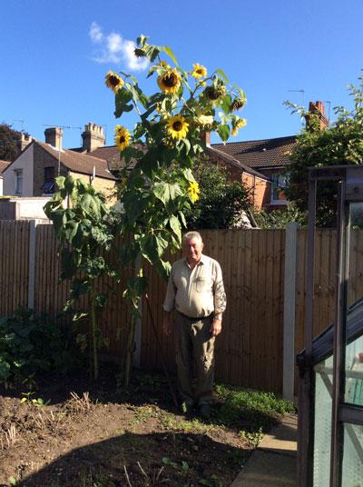 tallest sunflower