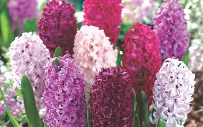How to grow Hyacinth bulbs in water