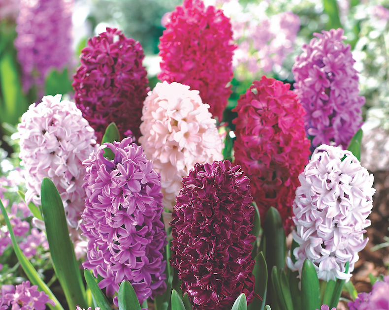 Hyacinth 'Berries and Cream Mixture' from T&M
