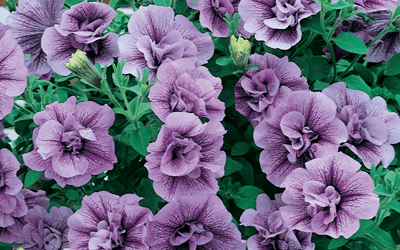 The history of the petunia (part two)