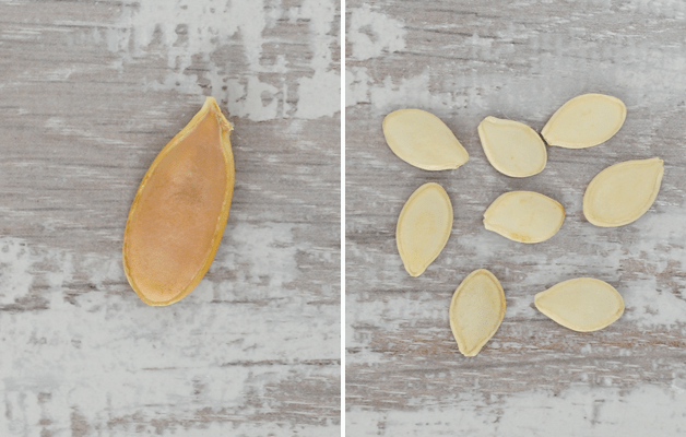 Giant pumpkin seed compared to normal size pumpkin seeds