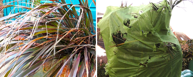 Phormium 'Platt's Black' & torn fleece