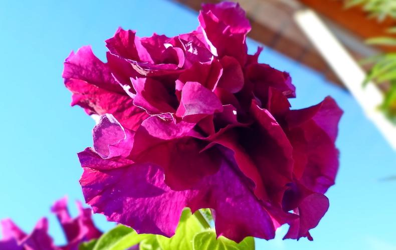Petunia grandiflora 'Double Cascade Burgundy Plum Vein' F1 Hybrid from Thompson & Morgan