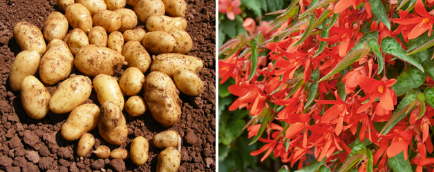 Potato 'Jazzy' & Begonia 'Inferno'™