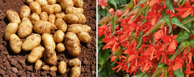 Potato 'Jazzy' & Begonia 'Inferno'™