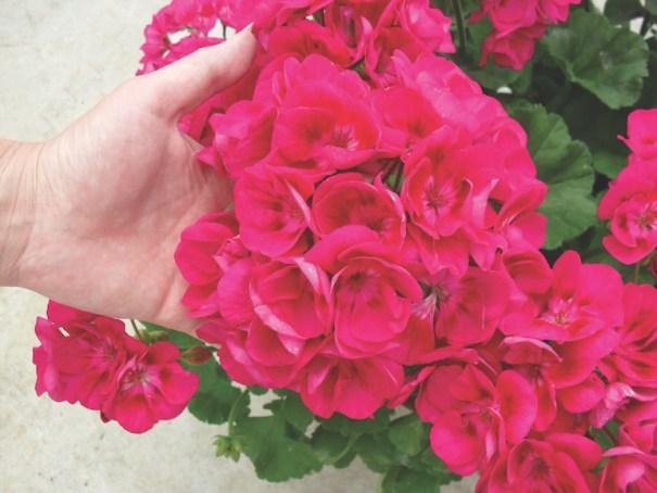 Geranium 'Flower Fairy Berry' from Thompson & Morgan