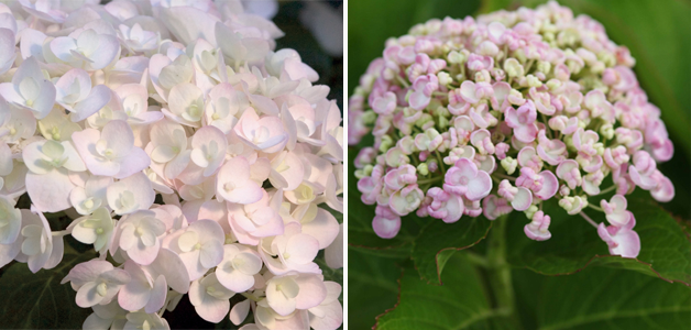 Hydrangea 'Endless Summer - Blushing Bride' and Hydrangea 'Ayesha'