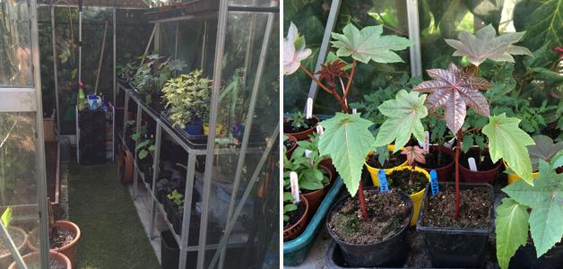 Caroline's overflowing greenhouse & ricinus