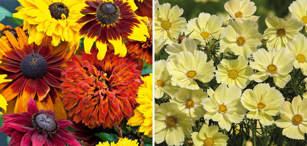 Rudbeckia 'All Sorts Mixed' & Cosmos 'Xanthos'